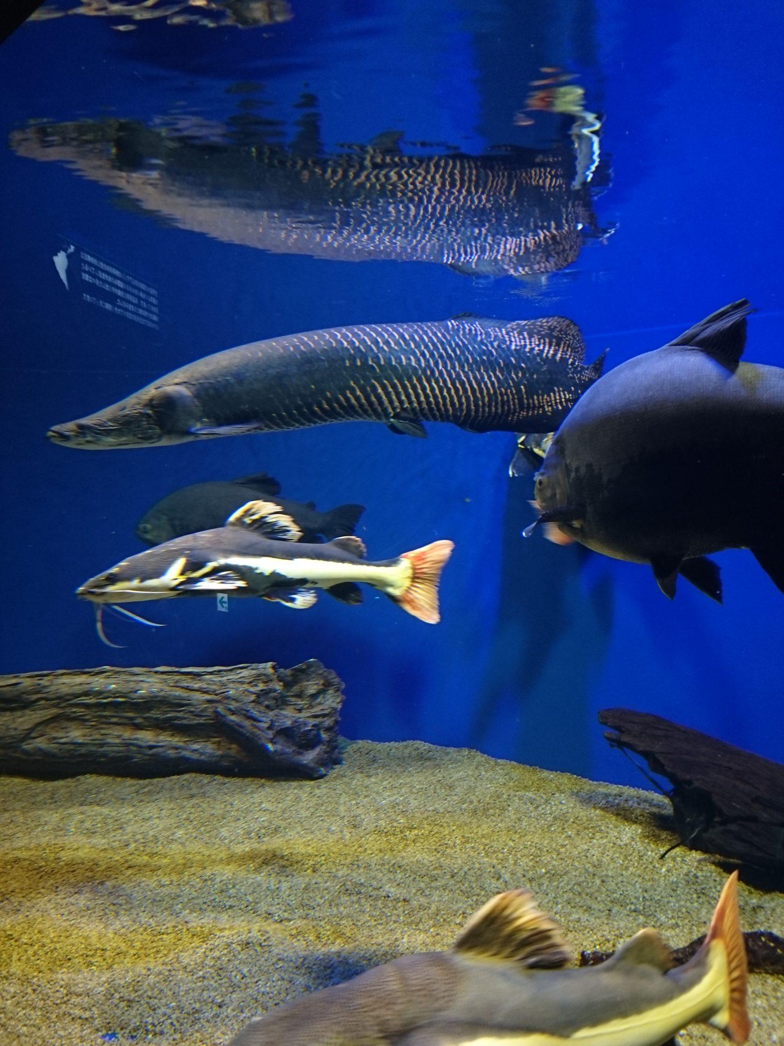 アマゾン川の淡水魚